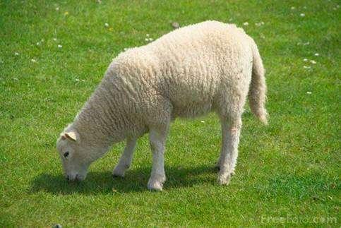 Корма для овец