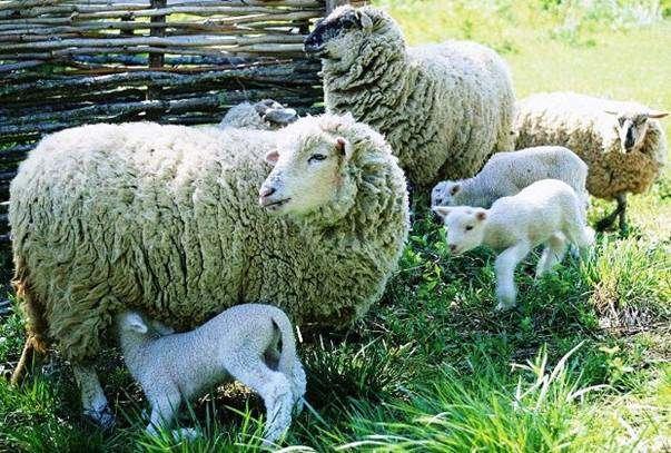 Помещение для овец