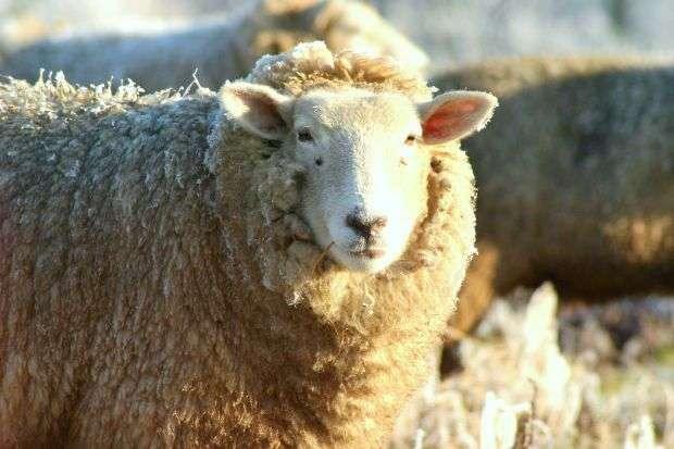 Доение овец