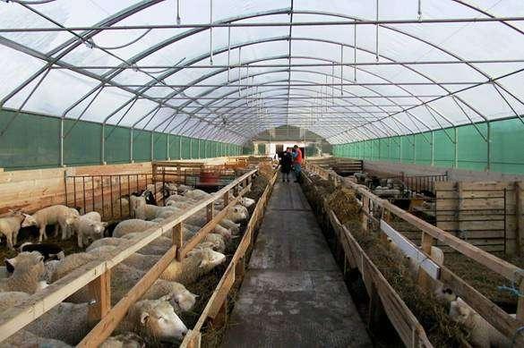 Кормление баранов производителей