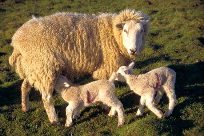 Кормление и содержание овец
