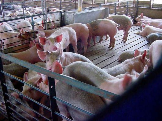 Помещения для свиней